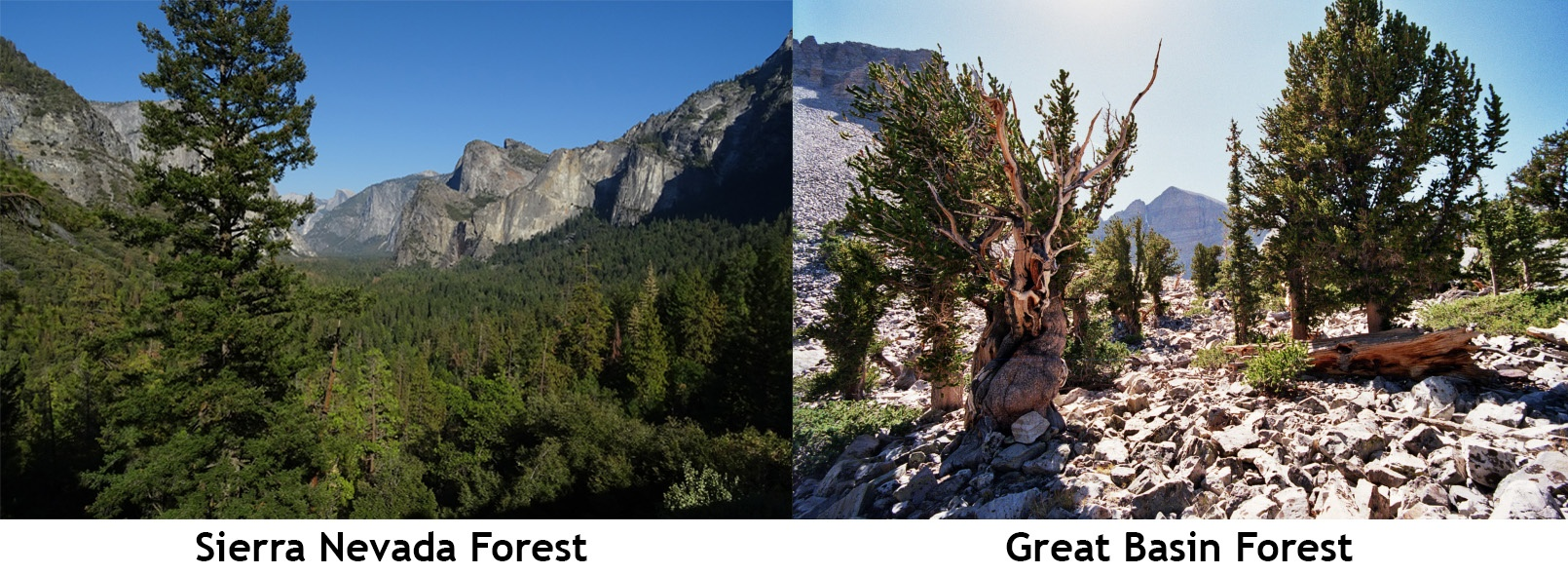california sierra nevada and great basin forests