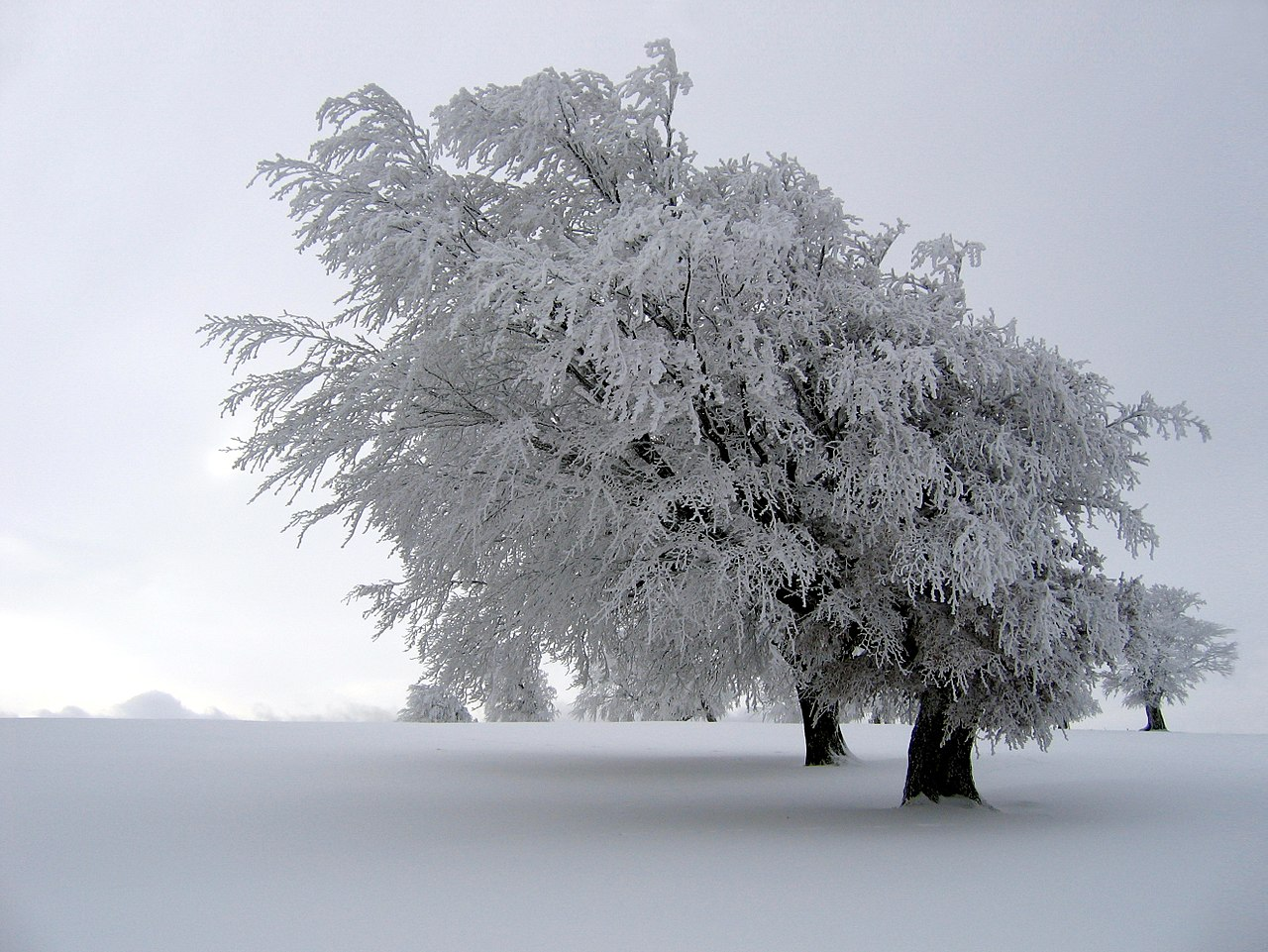hard rime whole tree