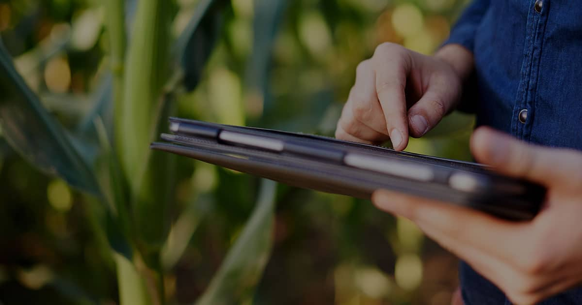 user navigating tablet in corn field