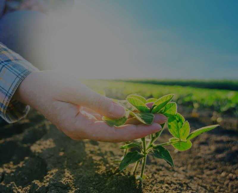 sunny day hand examining soybean stalk