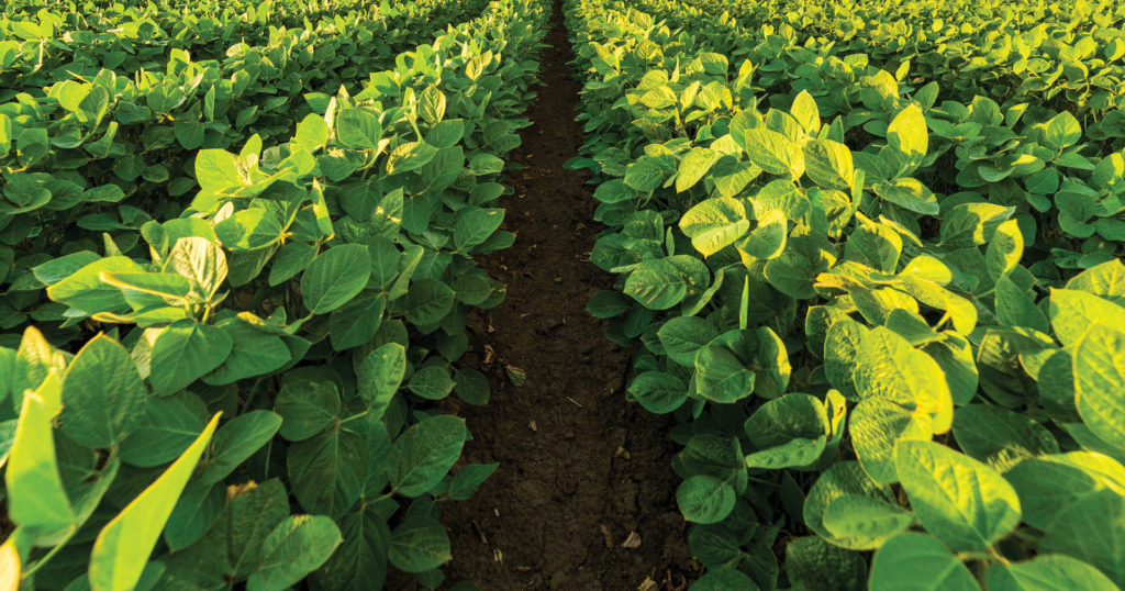 soybean rows to horizon fertile soil