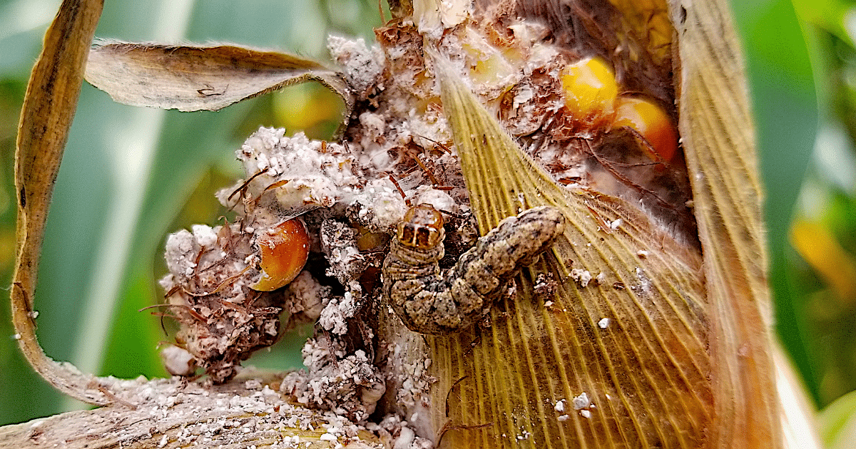 Close up of a cutworm