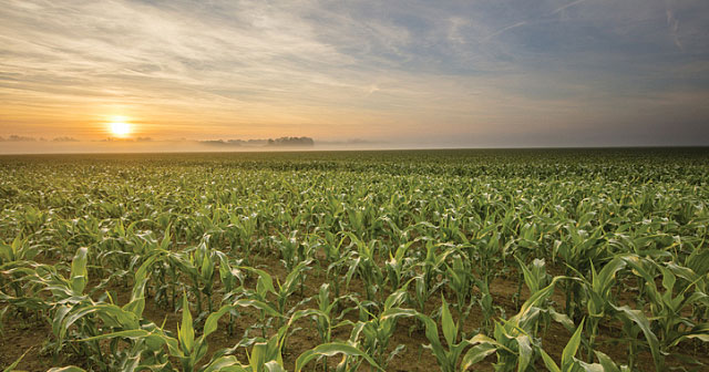 young corn field in morning sunrise