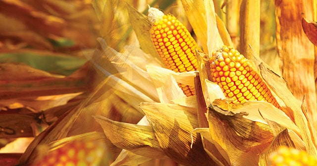 golden ripe corn close-up autumn