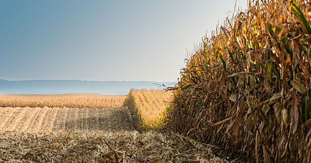 news insights harvest ready corn field