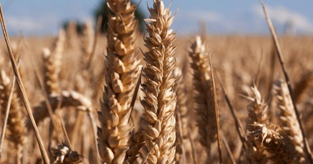 wheat-market-strategies