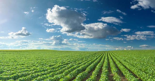green soy field rows blue sky