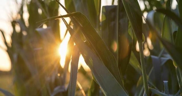 Sun and corn crop