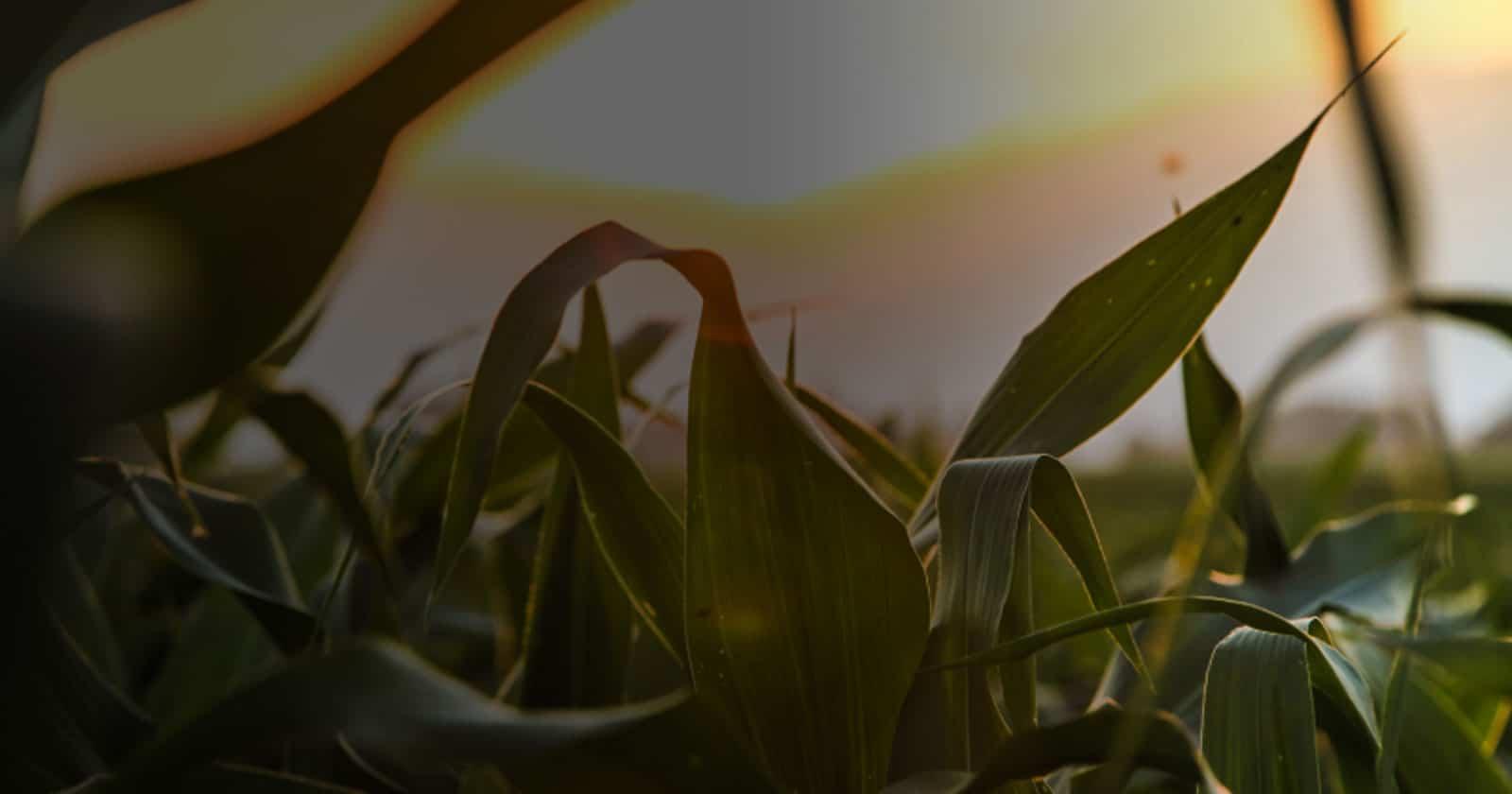 corn field close up sunrise