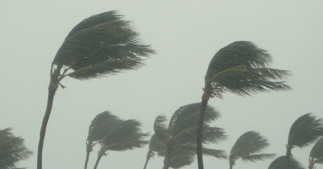 Palm Trees blowing in hurricane