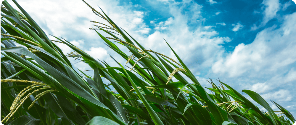 Corn blowing in strong winds