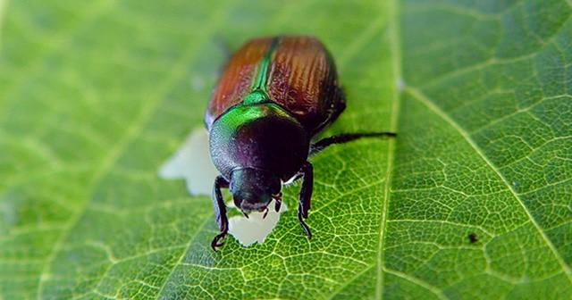 Blog Header Japanese Beetle
