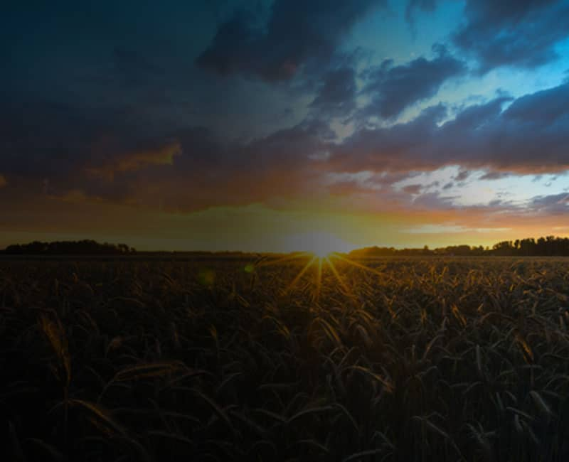 corn crop sunset blue sky clearag insights resource background