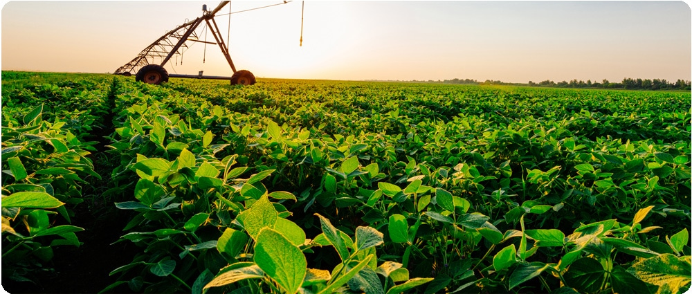 Irrigation with Soybeans