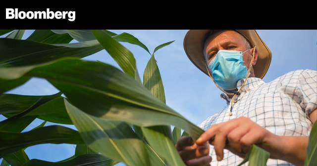 News Insights Farmer with Mask looking at corn