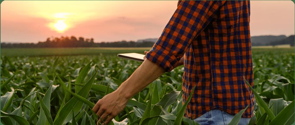 Farmer on Tablet in Cornfield