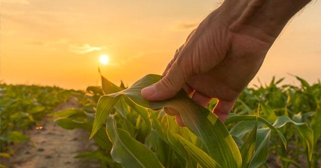 Blog Header Farmer's hand on cornfield