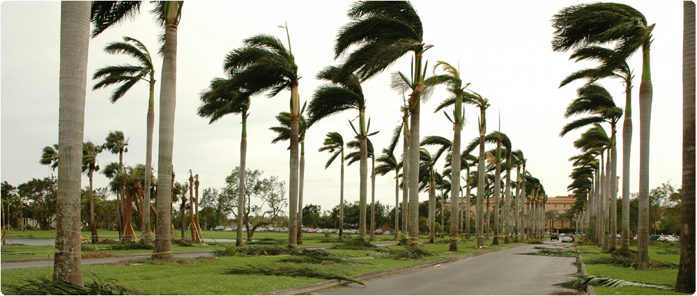 Palms trees blowng with leaves scattered on ground