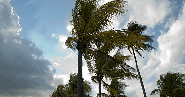 Palm trees blowing with blue sky