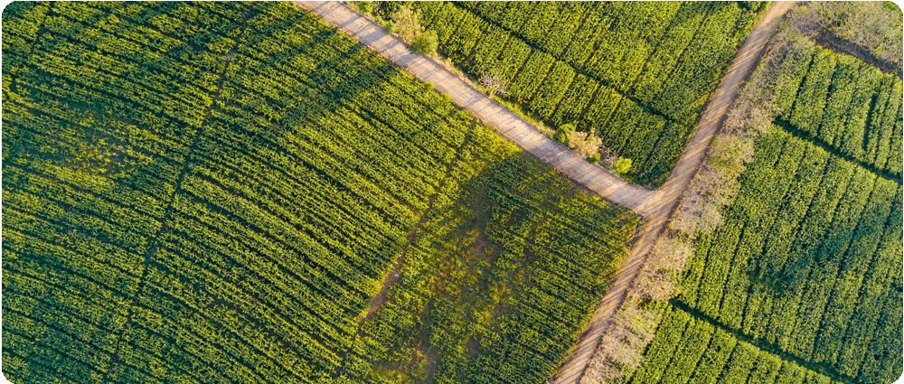 Aerial shot of cornfield