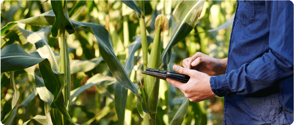 Farmer standing by cornstalks with tablet