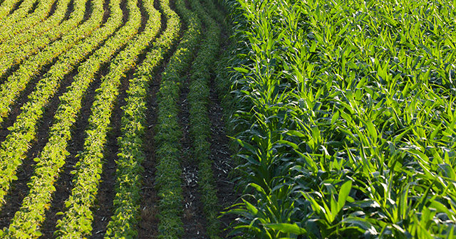 Blog Header Maize and Soybean