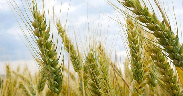 news insights hard winter wheat