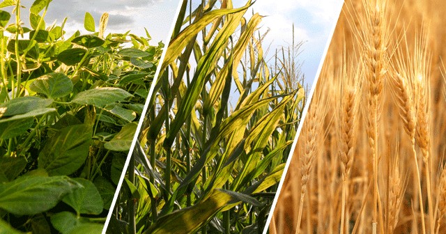 Soybeans, Corn, and Wheat Blog Header
